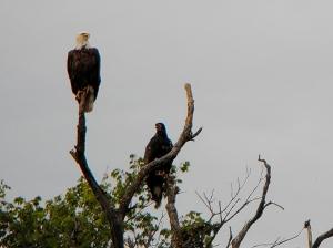 Bald Eagles on Perry Lake  Kansas.