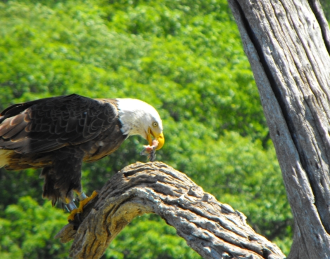 Bald Eagle eating lunch.