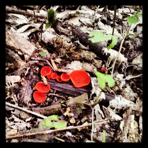 Sarcoscypha coccinea, the scarlet cup fungus! I googled it!  http://botit.botany.wisc.edu/toms_fungi/apr98.html